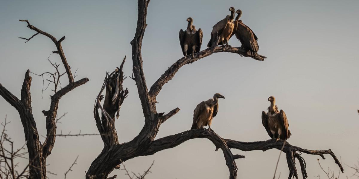 Symbolbild: Eine Gruppe Geier sitzt auf einem toten Baum